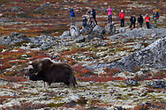 Wildlife watching with Muskox in front, Ovibos moschatus, Dovrefjell National Park, Norway