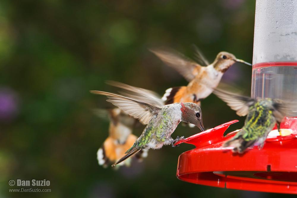 Anna's hummingbird, Calypte anna. Birds in background are either Allen's hummingbird, Selasphorus sasin, or Rufous hummingbird, Selasphorus rufus.  Santa Cruz Mountains, California.