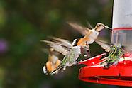 Rufous Hummingbird, Selasphorus rufus