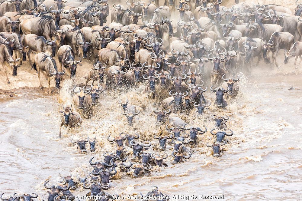 Wildebeest crossing the Mara River, Masai Mara National Reserve, Kenya