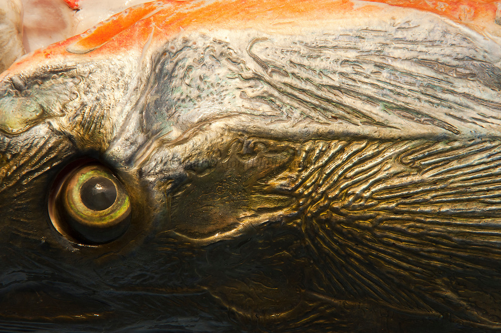 Arapaima (Arapaima gigas) Head detail. Harvest on quota<br /> A South American tropical Fish that is one of the largest in the world.<br /> Rupununi<br /> GUYANA<br /> South America