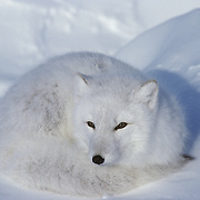 Arctic Fox (Alopex lagopus) curled up resting on frozen Hudson Bay.