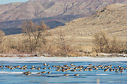 Flock of canada geese roosting on ice covered pond in the Bighorn Basin of Wyoming