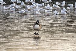 © Licensed to London News Pictures. 31/01/2019. London, UK. Seagulls and a duck is seen walking on a frozen pond in Finsbury Park, north London following the coldest night this winter. Photo credit: Dinendra Haria/LNP