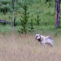 Face Off! Gray wolf stands out from his kill watching for other predators in the area. Yellowstone National Park, Wyoming.