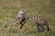 Two playful cheetah cubs (Acinonyx jubatus) chasing each other and jumping,,  Ndutu, Ngorongoro Conservation Area, Tanzania, Africa