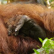 An orangutan (Pongo pygmaeus) rear foot, Tanjung Puting National Park. Central Kalimantan region, Borneo.
