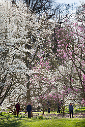 © Licensed to London News Pictures. 21/03/2017. London, UK. Visitors walk under magnolia trees at the Royal Botanic Gardens Kew in afternoon sunshine.  Photo credit: Peter Macdiarmid/LNP