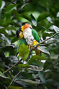 Black-headed Parrot (Pionites melanocephalus) CAPTIVE<br /> Yasuni National Park, Amazon Rainforest<br /> ECUADOR. South America<br /> HABITAT & RANGE: Forest and nearby wooded habitats in the Amazon north of the Amazon River and west of the Ucayali River in Brazil, Colombia, Ecuador, French Guiana, Guyana, Peru, Suriname, and Venezuela.