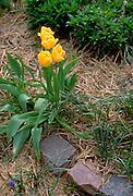 Yellow tulips in a garden.  Edina Minnesota USA