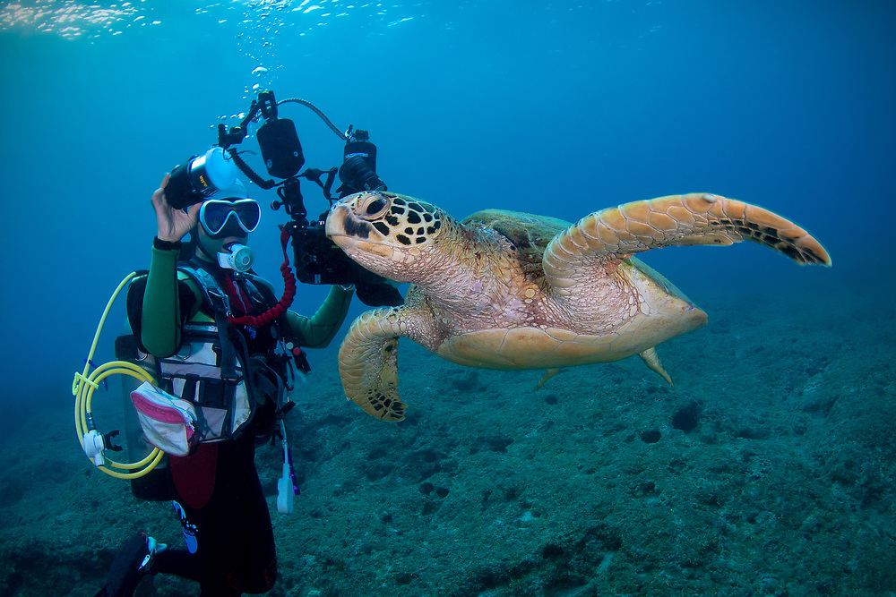 Diver meeting a green turtle, Chelonia mydas, also known as green sea turtle, is a large sea turtle of the family Cheloniidae. Green turtles are listed as endangered by the IUCN and CITES and is protected from exploitation in most countries. C. mydas is the second largest sea turtle in the World,  and grow to up 1.5 metres and weigh almost 400 kgs. Island Xiaoliuqiu, Little Liuqiu (Chinese: 小琉球), located southwest in Taiwan. Taiwan's only large coral island.