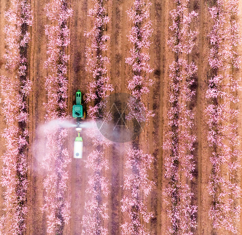 Aerial view of a tractor spraying fertiliser in Almond plantation just before sunrise during a foggy day, Beit HaKerem Valley, Israel.