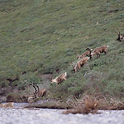 Barren Ground Caribou (Rangifer arcticus) Porcupine herd Artic National Wildlife Refuge. Alaska