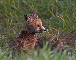 A red fox kit sitting in the morning sun in Jackson Hole Wyoming