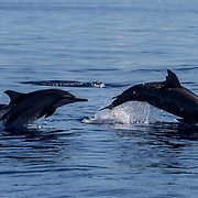 Spinner dolphins (Stenella longirostris) with calf jumping, Puerto Princesa, Palawan, the Philippines.
