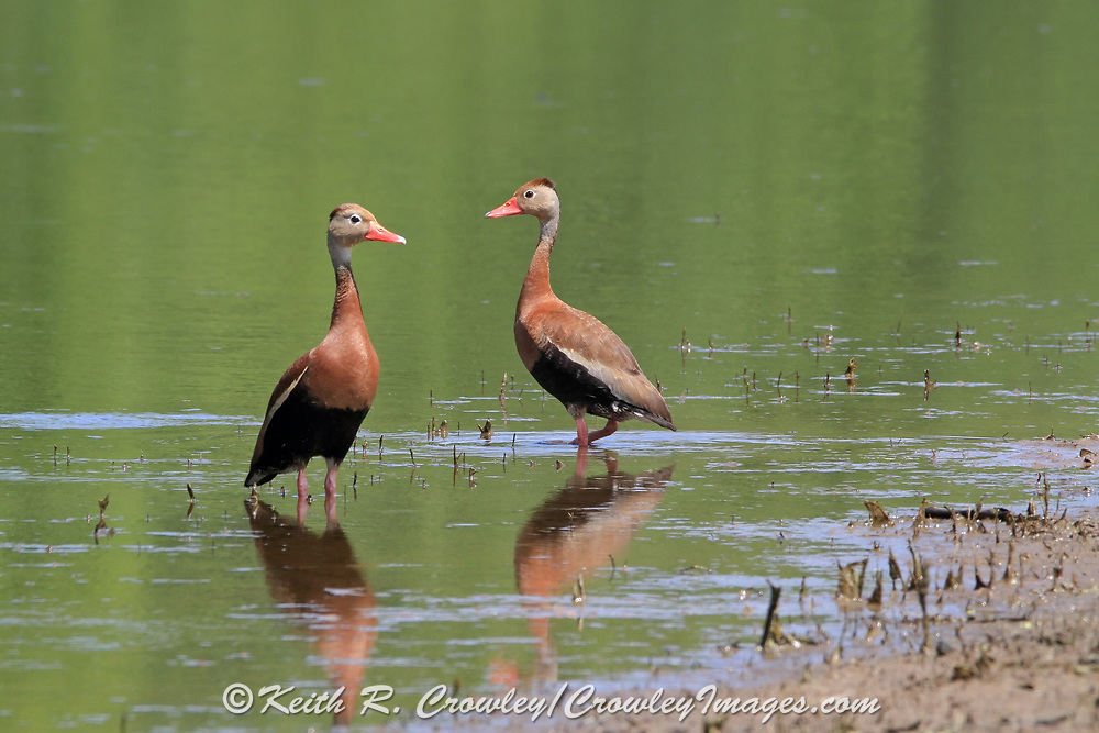 Black-bellied whistling duck (tree duck) in wetland habitat.