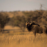 Blue Wildebeest, (Connochaetes taurinus) Loner standing together in Kalahari Desert. Africa. Low evening light.