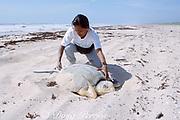 biologist measures nesting Kemp's ridley sea turtle, Lepidochelys kempii, ( critically endangered species ), Rancho Nuevo, Mexico ( Gulf of Mexico / Western Atlantic Ocean )