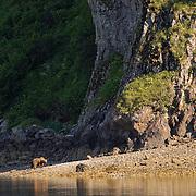 Alaskan Brown Bear (Ursus middendorffi) adult on a beach near a rocky cliff. Katmai National Park, Alaska