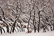 Fresh snow covers oak tree branches in Salt Lake City, Utah