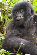 Rwanda, Volcanoes National Park (Parc National des Volcans) Juvenile Gorilla