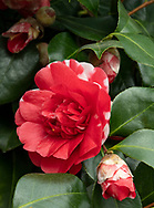 Camellia japonica 'Chandleri', a deep red camellia with a touch of white blooming in February in the Conservatory at Chiswich House, Chiswick, London, UK