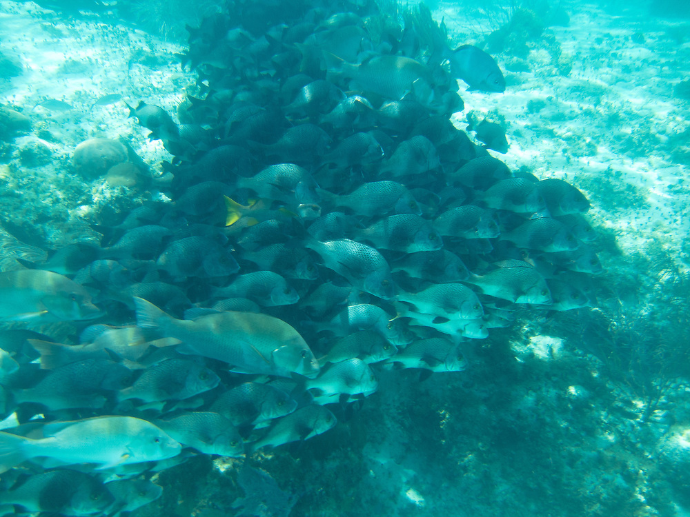 Hol Chan, Belize 8/31/2012.School of fish at the Hol Chan Marine Reserve..Alex Jones / www.alexjonesphoto.com