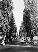 """9969-3805. Lombardy poplars at Northeast 58th Ave. and Couch St., Portland, Oregon. October 17, 1938. (Comments by Cathy Riddell: photos are looking north on NE 58th to Glisan. A lot of houses on the east side of the street were built in 1941 and 1942, so this is just before that. This is in front of Bill Naito's house - during the anti-Japanese hysteria after 12/7/41, as a high school sophomore, he went door-to-door on the street getting signatures on a petition to get permission to keep the families ceramics store open.) (""""The photo is also interesting because Lombardy Poplars were such a popular street tree for such a long time. They were the trees originally planted in the Park blocks (along with the elms). They would grow to be 120' tall in 20 years - but invade pipes, buckle sidewalks, etc - and die young. Oh well - now you never see them - they're pretty much banned."""")"""