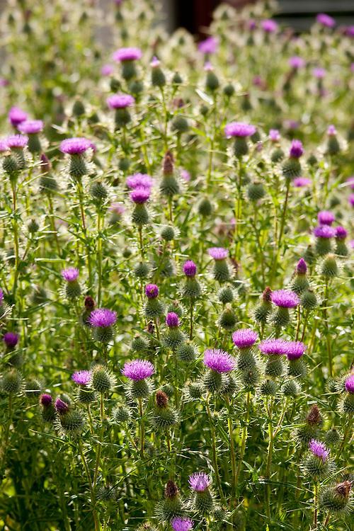 Scottish Thistle, Onopordum Acanthium, wildflower in the Lake District National Park, Cumbria, UK
