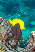 yellow tang, Zebrasoma flavescens, swims behind day octopus, big blue octopus, Cyane's octopus, or he'e mauli, Octopus cyanea, near Skull Cave, Kohanaiki, Kaloko Honokohau, Kona, Hawaii Island ( the Big Island ), Hawaiian Islands, U.S.A. ( Central Pacific Ocean )