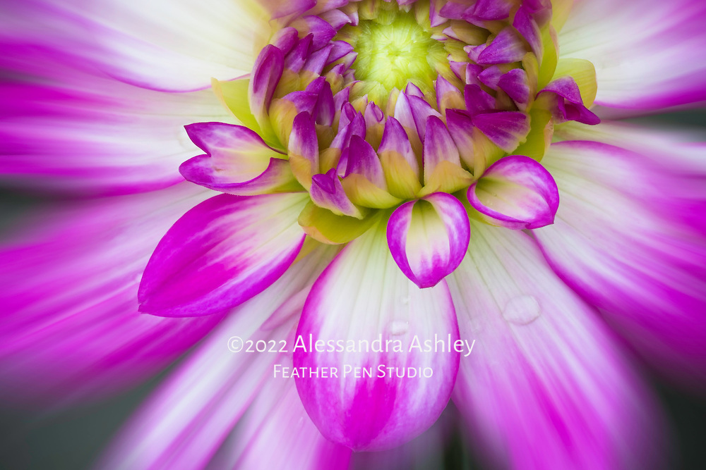 Macro floral portrait, dahlia bloom with raindrops, enhanced with zoom blur.
