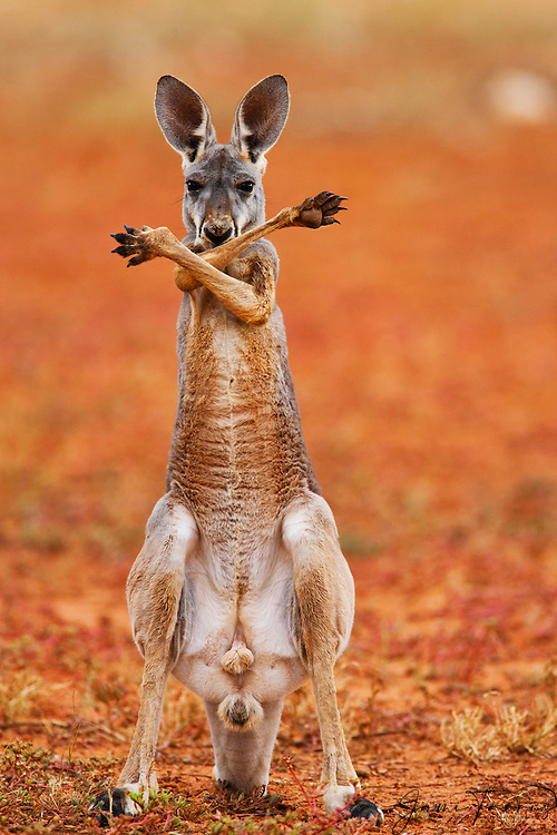 A red kangaroo joey (Macropus rufus) crossing his arms and paws over his chest standing up,  Sturt Stony Desert,  Australia