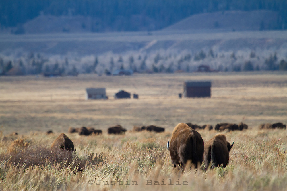 Bison in Grand Teton NP, WY.