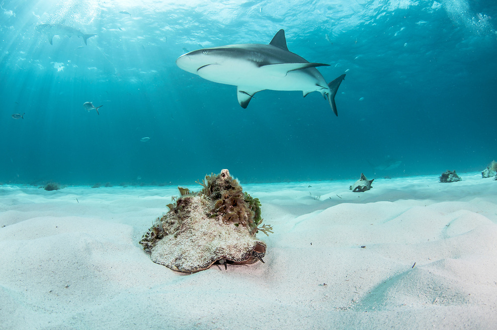 Queen conch (Lobatus gigas) walk along the ocean floor with Caribbean reef sharks ((Carcharhinus perezi) in the background. Image made off Grand Bahama Island, Bahamas.