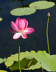 July 4, 2017 - Beijin, Beijin, China - Lotus flowers blossom at the Old Summer Palace in Beijing. (Credit Image: © SIPA Asia via ZUMA Wire)