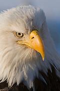 Bald Eagle, Haliaeetus leucocephalus, Portrait, Kenai Peninsula, Homer Spit, Homer, Alaska. Digital original, #2006_0527 ©Robin Brandt