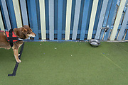 Standing on a meaningless line, a thirsty dog looks longingly at a water bowl outside a seaside cafe, on 3rd May 2021, in St Leonards, Sussex, England.