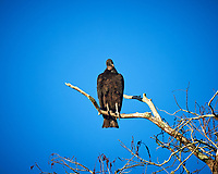 Black Vulture perched on a branch above Big Cypress Swamp. Image taken with a Nikon Df camera and 80-400 mm Vr lens (ISO 800, 400 mm, f/5.6, 1/1600 sec).