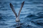 Seagull running on water | Måke løper på vannet