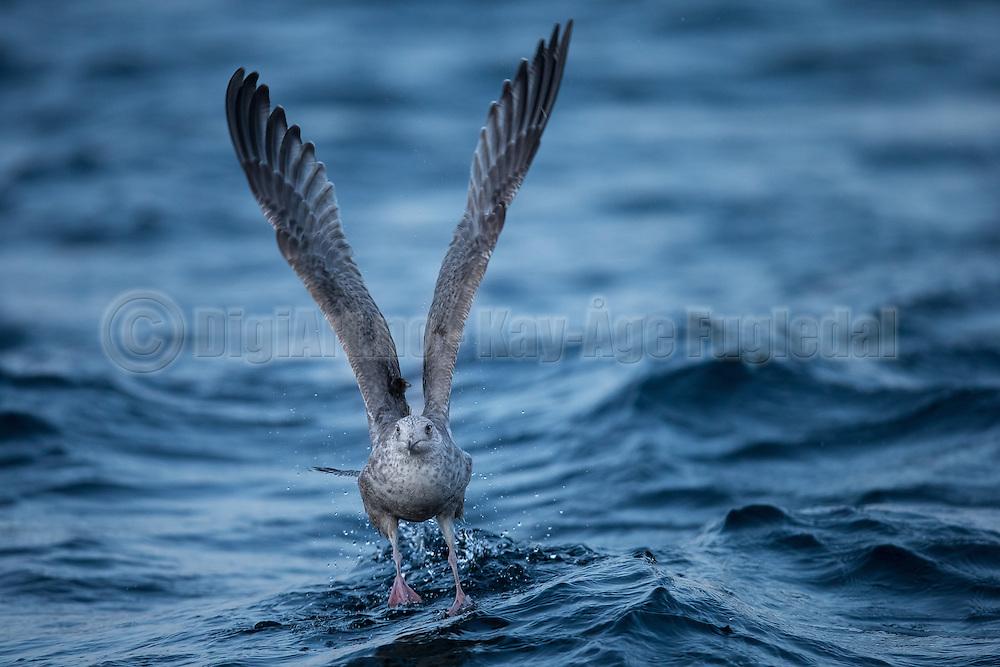 Seagull running on water   Måke løper på vannet