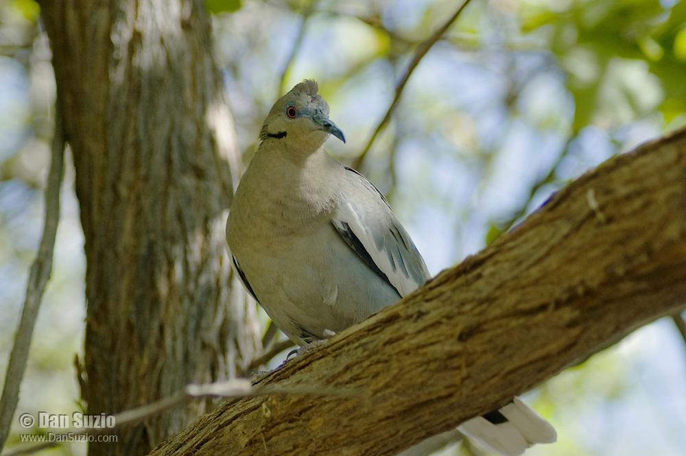 White-winged dove, Zenaida asiatica. Arizona-Sonora Desert Museum, Tucson, Arizona