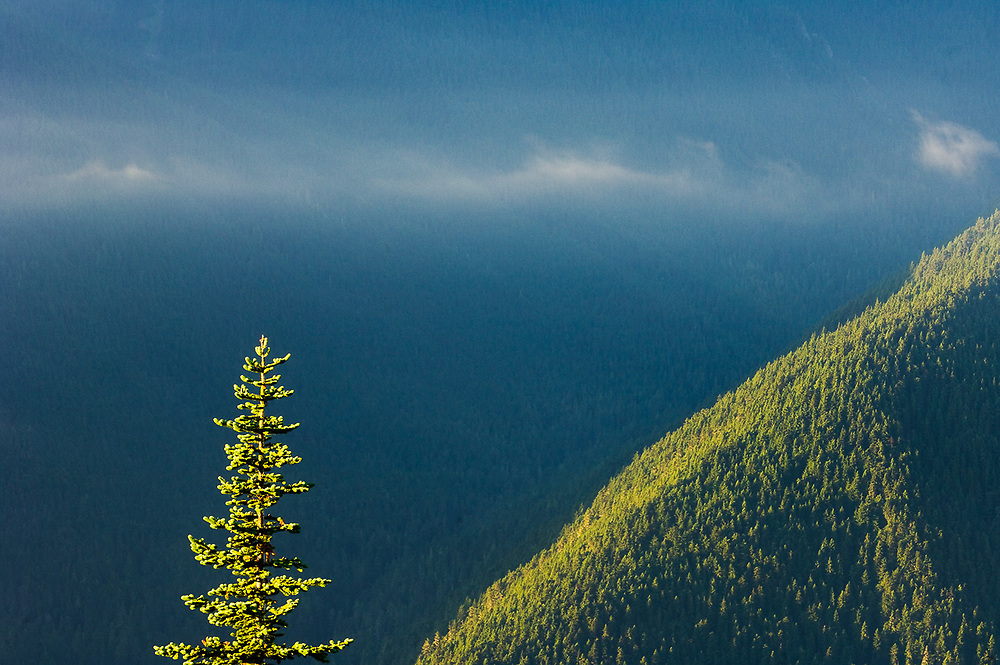 Fir tree crown illuminated in morning light, July, view from Blue Mountain,  Olympic National Park, Clallam County, Washington, USA.