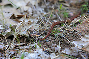 Red-bellied snake in habitat.