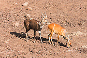 Male and Female Cameroon Bushbuck (Tragelaphus scriptus) Photographed in Tanzania