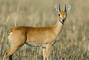 ORIBI, Ourebia ourebi, Senkele Wildlife Sanctuary, Ethiopia, Rare due to habitat destruction, male, horns, shy