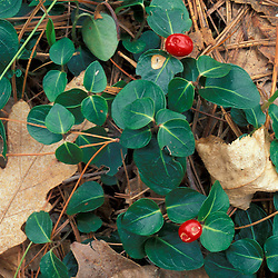 Urban Forestry Center, Portsmouth, NH.Partridgeberry, Mitchella repens, in a New Hampshire forest..
