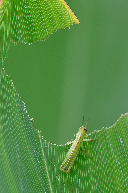 Grasshopper, Locusta sp. who has eaten a big hole in a leaf, East Lake Greenway park, Wuhan, Hubei, China