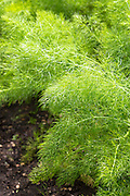 Fennel bulb, Foeniculum vulgara, or Sweet Florence in vegetable and herb garden in Oxfordshire UK