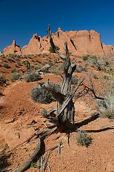 Pinyon Pine (Pinus edulis) near Devils Garden, Arches National Park, Utah, US