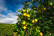 Lemon orchard in Wheeler Canyon, Ventura County, California